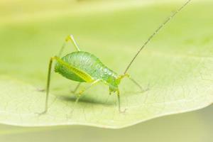 gräshoppa på en växt foto