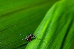 mygga på ett blad