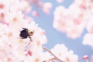 bi på körsbärsblommor