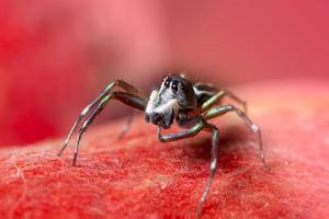 spindel på röd bakgrund