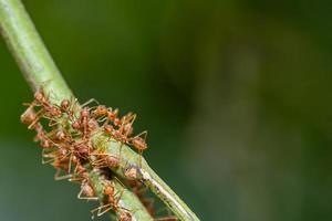 myror på en gren