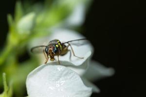 fruktfluga på en blomma foto