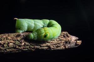 grön mask på en gren foto