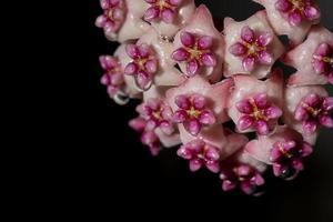 hoya blomma på svart bakgrund