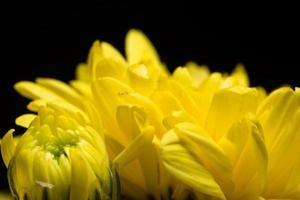 gul krysantemumblomma foto