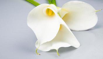 närbild av vita callaliljor