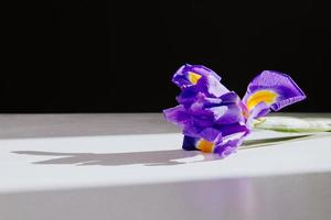 närbild av en lila iris