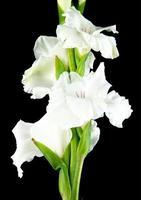 närbild av vita gladiolusblommor foto
