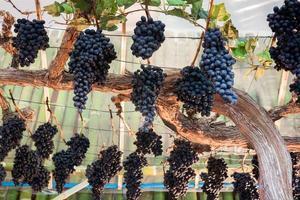 druvor hängande från vinstockar foto