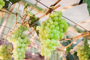 närbild av gröna druvor foto