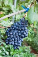 lila druvor på en vinstock foto