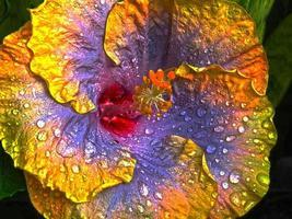 stor lila blommahibiskus foto