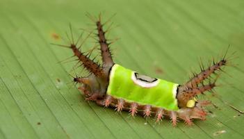 saddleback larv foto