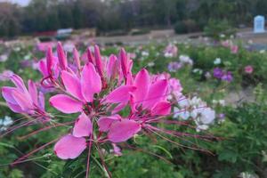 rosa blommor i en trädgård foto