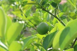färskt citronträd på dagtid foto