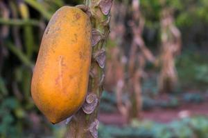 mogen papaya frukt foto