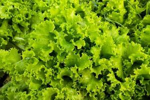 närbild av salladsväxter