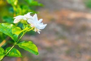 vackra vita blommor foto