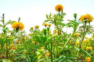 närbild av gula blommor i ett fält foto