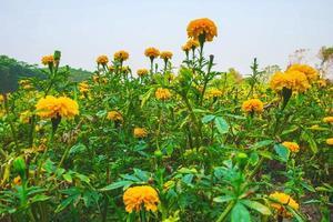 gult blommigt fält