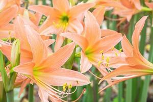 närbild av orange liljor