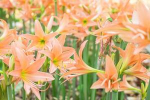 fält av orange amaryllisblommor