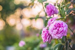 rosa rosor i en trädgård