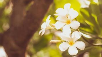 vita frangipani blommor