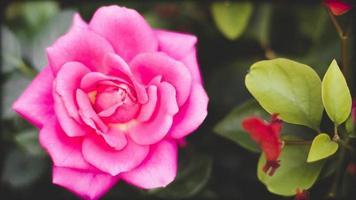 närbild av en rosa ros