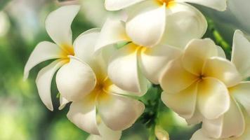 närbild av plumeria blommor