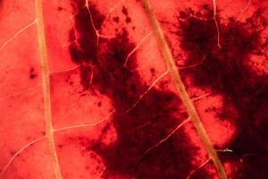 röda blad närbild