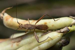 brun mördare bug på en växt