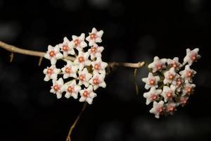 vit hoya blomma