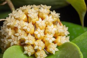 gul hoya blomma närbild