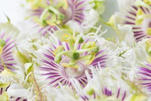 lila och vit blomma närbild