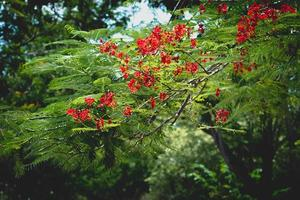 röda kungliga poinciana blommor utanför
