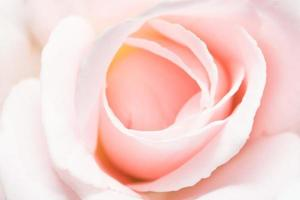 rosa ros närbild