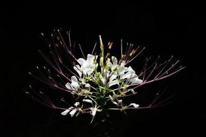 vit vild blomma