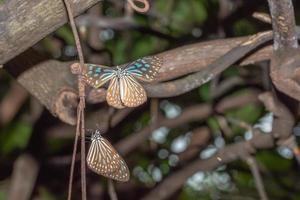 fjärilar i naturen foto