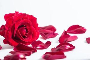 röd ros på vit bakgrund
