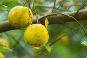 apelsiner på trädet foto