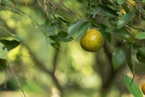 orange på trädet foto