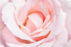 rosa ros bakgrund
