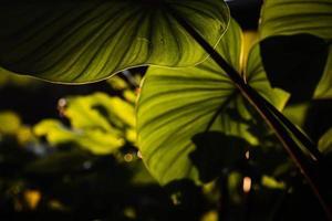 närbild gröna homalomena rubescen lämnar. solsken genom gröna blad, natur vår. foto