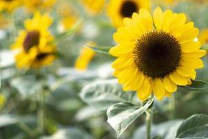 närbild solros naturlig bakgrund, solros blommar. fält av blommande solrosor. foto