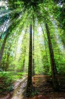 vacker morgon solstrålar skog. foto