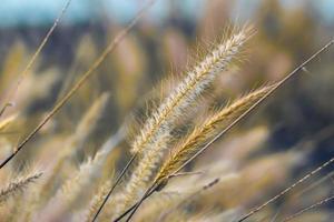 närbild av vilda gräs under dagen