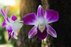 två lila orkidéer