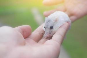närbild av en hamster i händerna foto