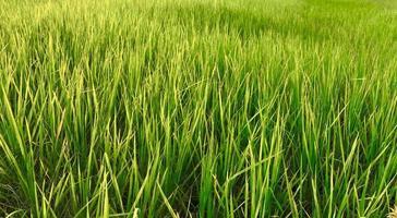 närbild av ett risfält